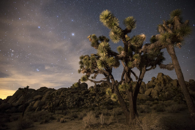 Joshua Trees and the night sky